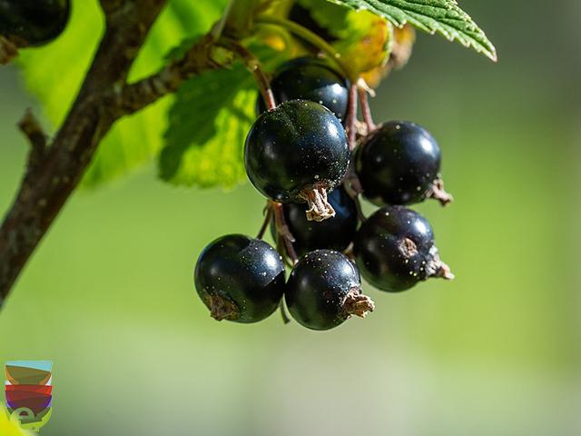 Ribes Nero: un antibiotico naturale contro le allergie