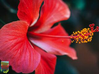 Karkadè o fiore di Ibisco